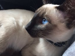 _Siamese_Cat_