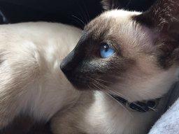 _Siamese_Cat_
